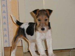 Milou, chien Fox-Terrier