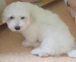 Milou, chien Coton de Tuléar