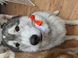 Milow, chien Husky sibérien