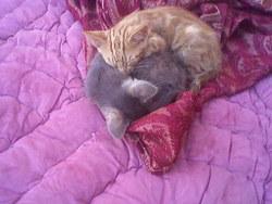 Mimar, chat Oriental