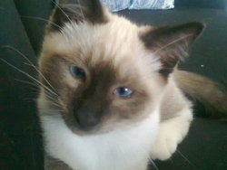 Mimi, chat Birman