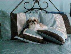 Mimi, chien Shih Tzu