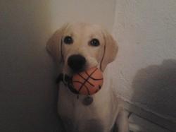 Ninou, chien Labrador Retriever