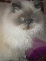 Mimi, chat Persan