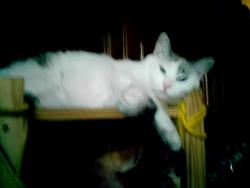 Mimi, chat Européen