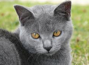 Mimi, chat Chartreux