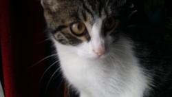 Mimi, chat British Shorthair