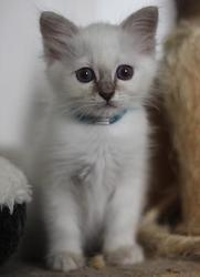 Falka, chat Siamois