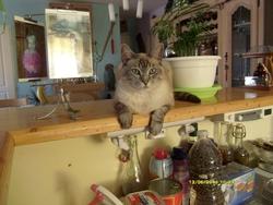 Mimi, chat Siamois