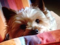 Mimi, chien Yorkshire Terrier