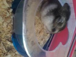 Mimi, rongeur Hamster