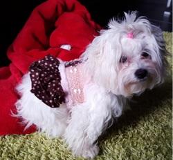 Mimi, chien Bichon maltais