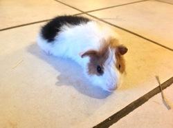 Mimi, rongeur Cochon d'Inde