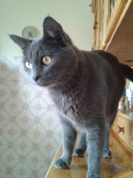 Mimi, chat Bleu russe