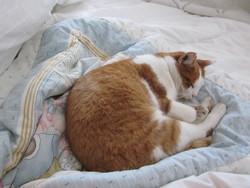 Mimi-Décéder, chat Européen