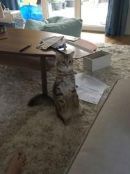 Mimi, chat Sibérien