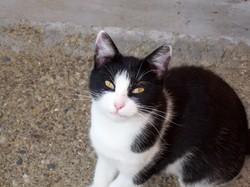 Mimi- Siku, chat Européen