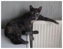 Mimie, chat Chartreux