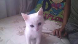 Mimie, chat Angora turc