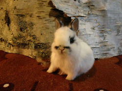 Mimie, rongeur Lapin