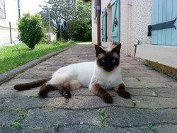 Mimine, chat Siamois