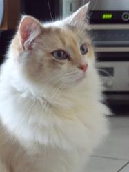 Mimine, chat Ragdoll