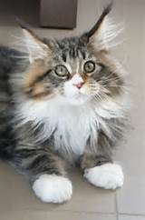 Mimine, chat Maine Coon