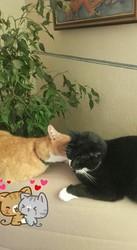 Mimine, chat Européen