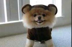 Mimine, chien Spitz allemand