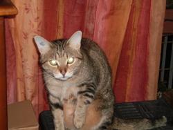 Mimiou, chat Européen