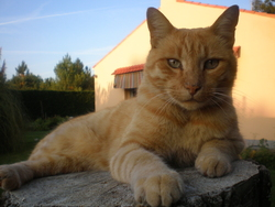 Mimiroux, chat
