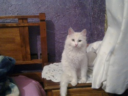 Mimosa, chat Angora turc
