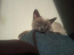 Mimou, chat Siamois