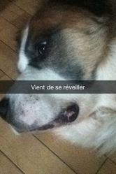 Mimzy, chien Saint-Bernard