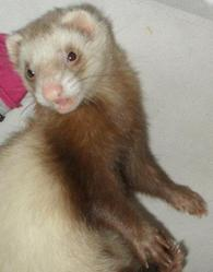 Mina, rongeur Furet