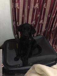 Mina, chien Labrador Retriever