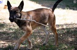 Mina, chien Berger belge