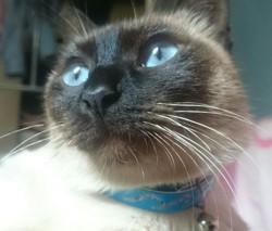Mina, chat Siamois