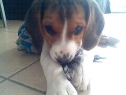 Mina, chien Beagle