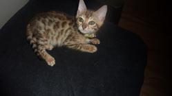 Mina, chat Bengal