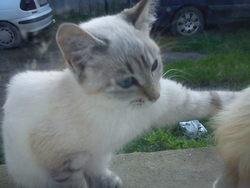 Minako, chat Européen