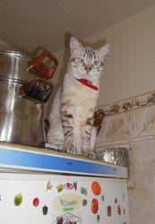 Minat, chat Siamois