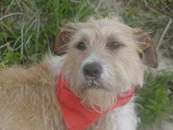 Mindie, chien Fox-Terrier