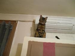 Mindra, chat Gouttière