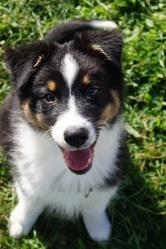 Mindy, chien Berger australien