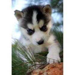 Mindy, chien Husky sibérien