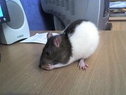Minerva, rongeur Rat