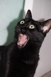 Minet, chat Gouttière
