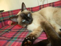 Minette, chat Thaï