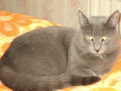 Minette, chat Chartreux